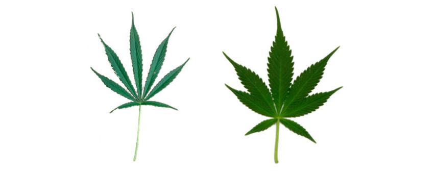 Różnice między konopiami CBD a THC