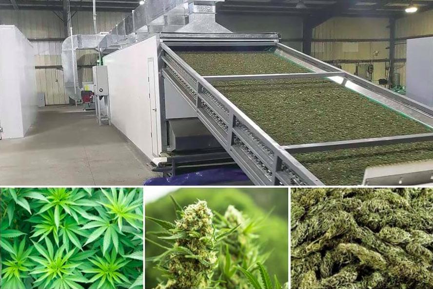 Proces suszenia marihuany