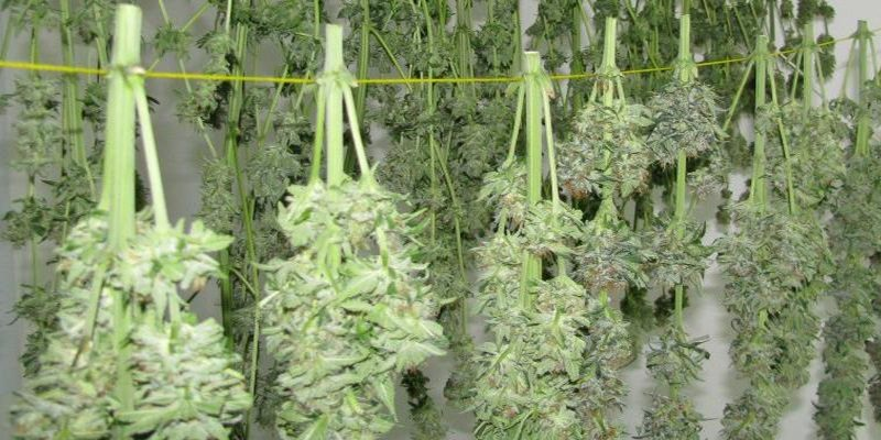 Marihuana schnąca na sznurku