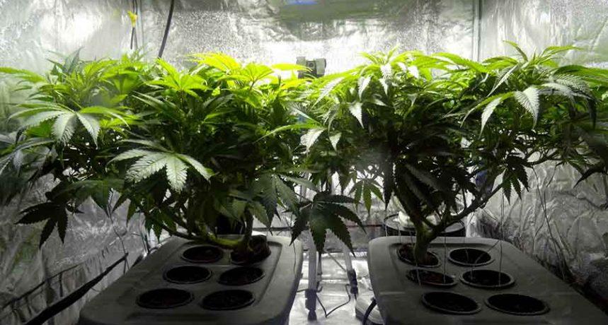 Krzaki marihuany w growboxie