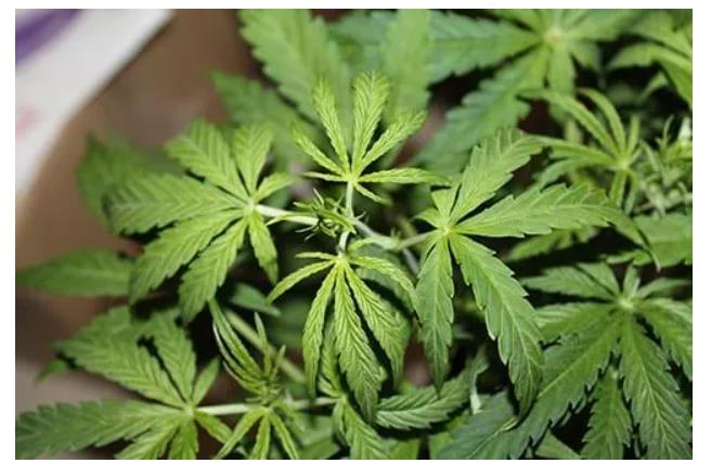 Marihuana po czterech tygodniach wzrostu