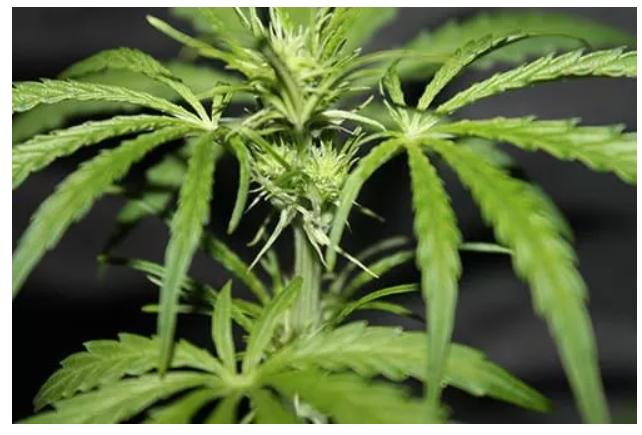 Marihuana po pięciu tygodniach wzrostu