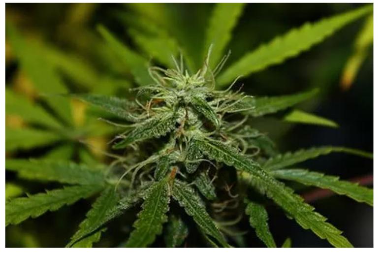Marihuana po 6-8 tygodniach wzrostu