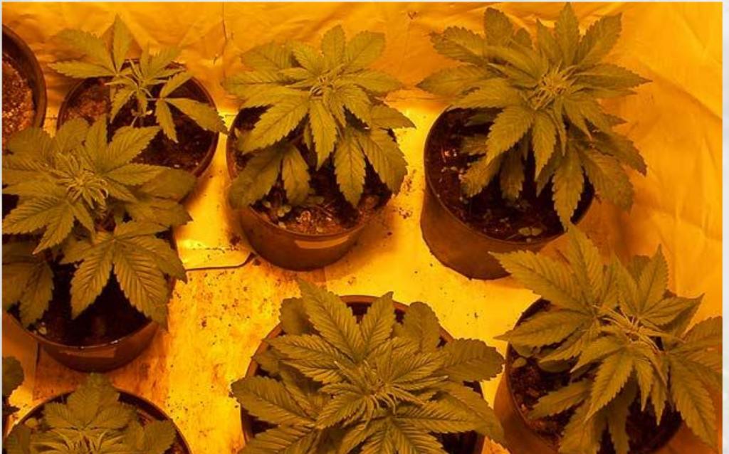 Małe sadzonki konopi indyjskich w growboxie