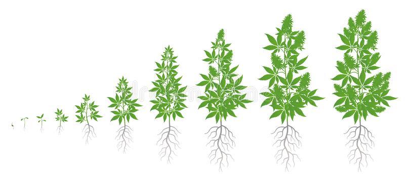 Fazy wzrostu marihuany