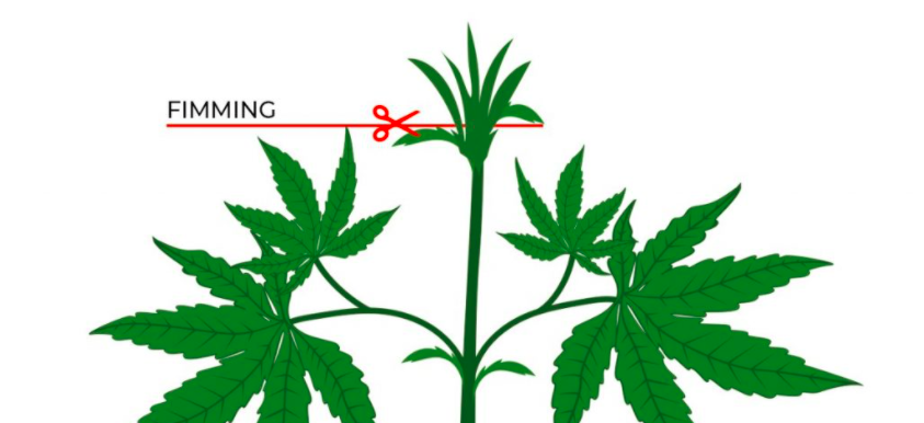 Fimming marihuany - jak zrobić