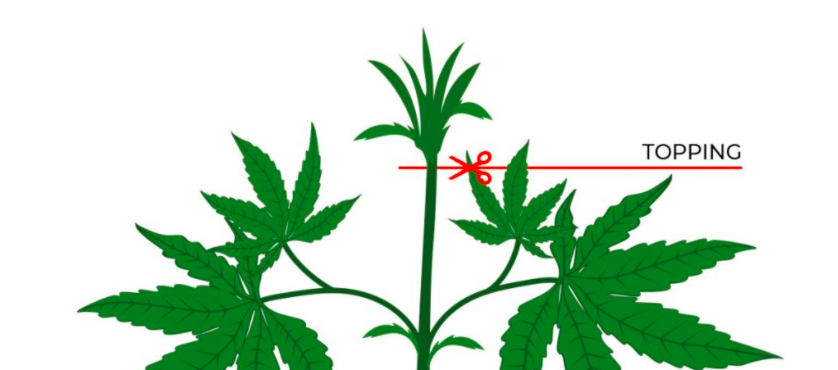 Topping marihuany - jak wykonać i zrobić