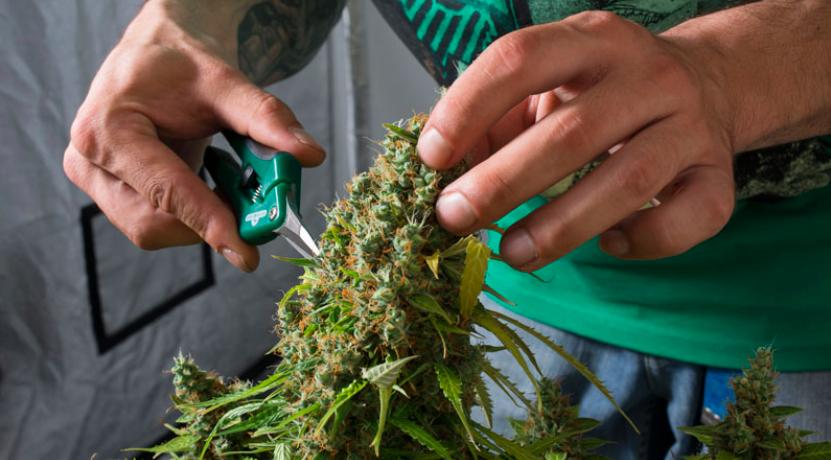 Trimming marihuany i konopi