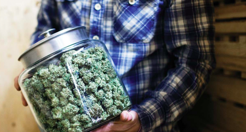 curring marihuany - jak przeprowadzać