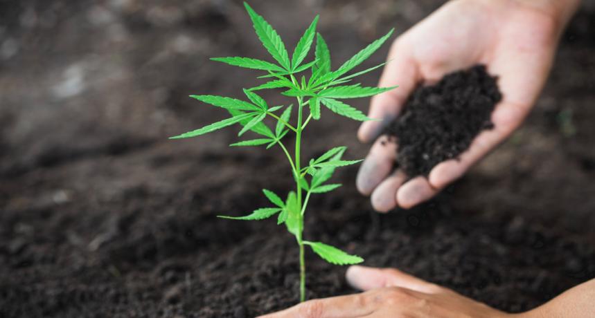 Automatyczne odmiany konopi - marihuany