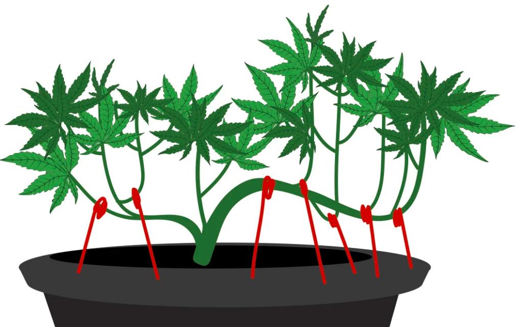 Niskie odmiany automatyczne marihuany