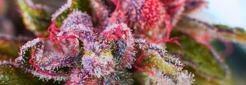 Strawberry Kush - odmiana feminizowana